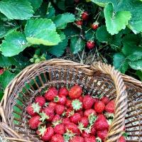 Cueillette des fraises, la saison est ouverte !