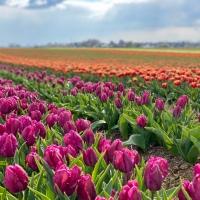 Des champs de tulipes à deux pas de Düsseldorf !