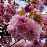 Sakura à Düsseldorf, les meilleurs spots pour admirer des cerisiers en fleurs